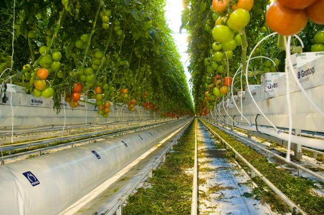 프리바 사의 시스템이 적용된 토마토 온실. 토마토를 땅에 직접 심지 않고 화분에 심어 지면에서 일정 거리를 떼어놓은 모습을 볼 수 있다. 화분 아랫부분에는 물과 영양소를 공급하는 파이프가 지나는데, 각각의 화분에 자동으로 물과 영양소를 공급한다. - PRIVA 제공